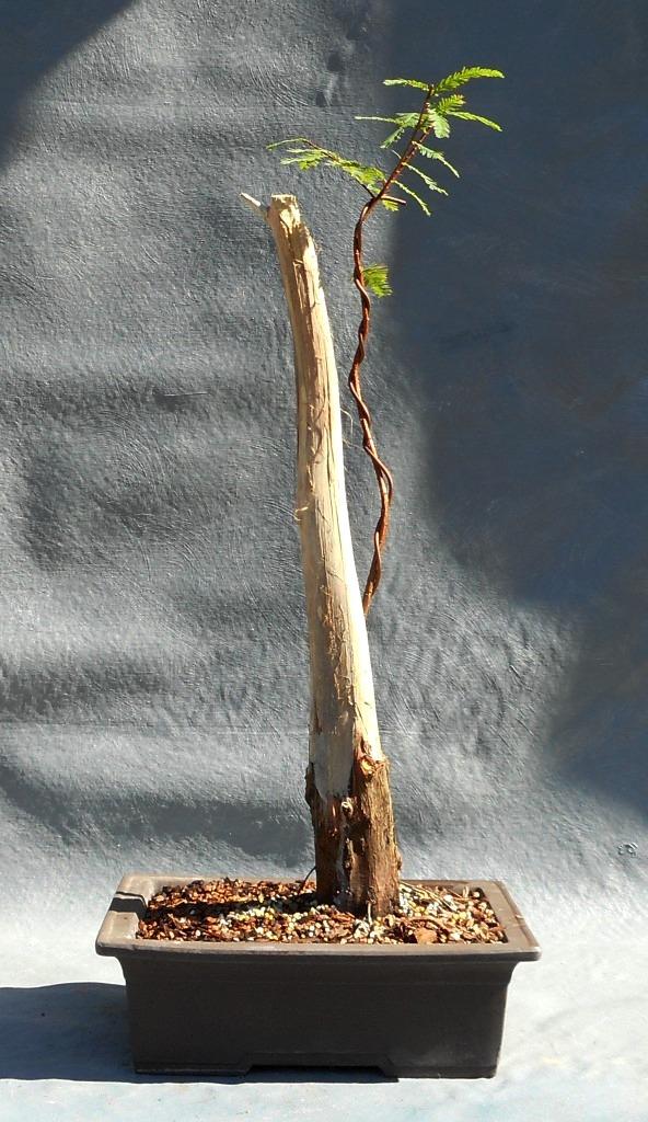 cypress11-6-16-1
