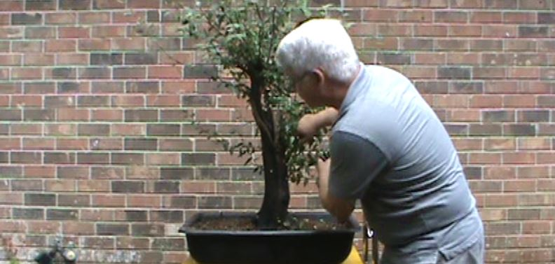 Best Bonsai Trees for Beginners