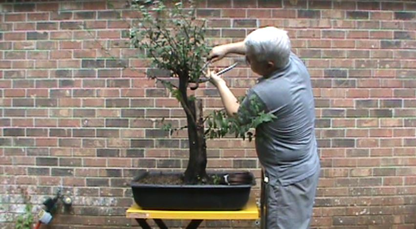 Great Beginner Bonsai