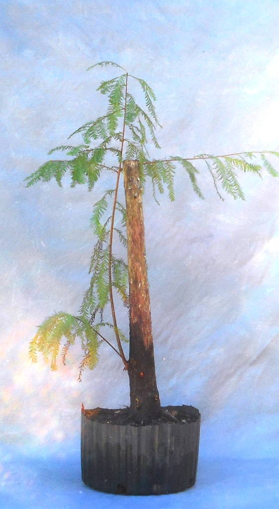 cypress10-29-16-1
