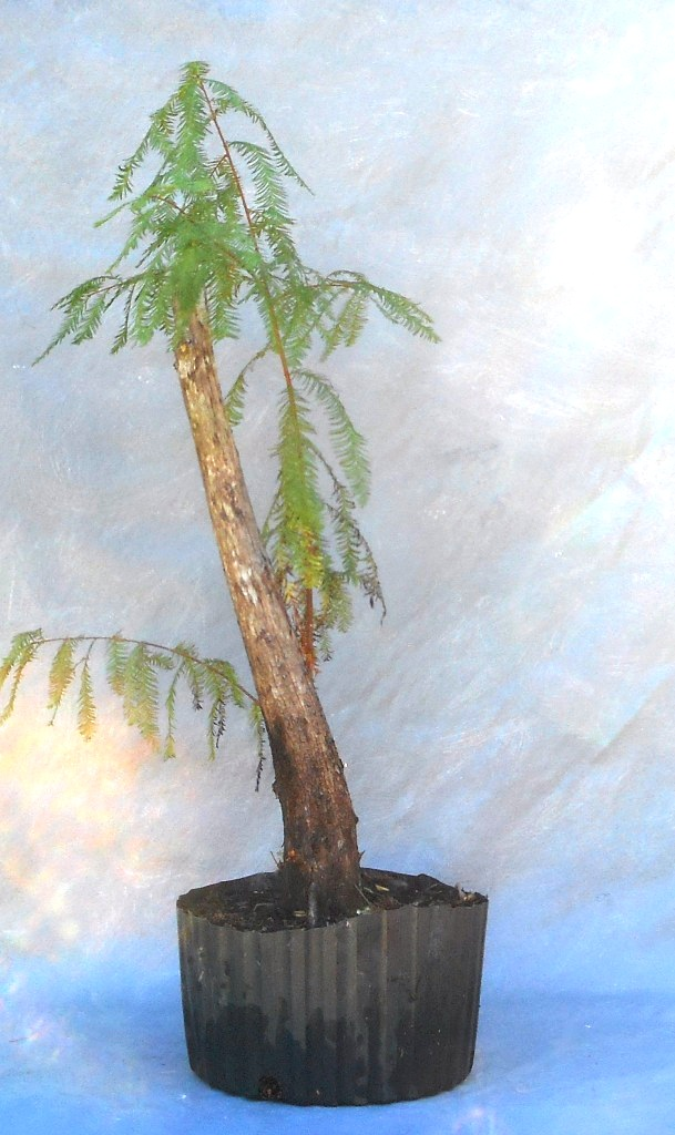 cypress10-29-16-2