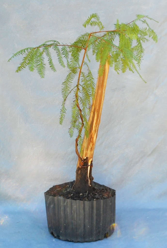 cypress10-29-16-5