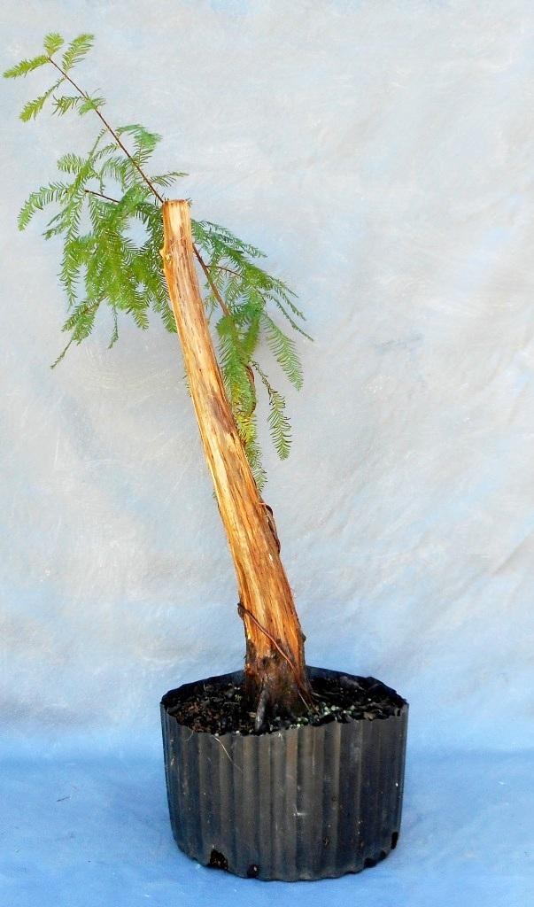 cypress10-29-16-6