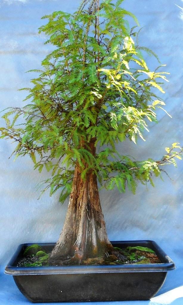 cypress11-19-16-1