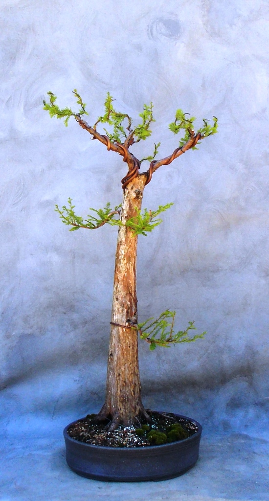 bald cypress next step bonsai south rh bonsai south com Marijuana Bonsai Tree Wisteria Bonsai