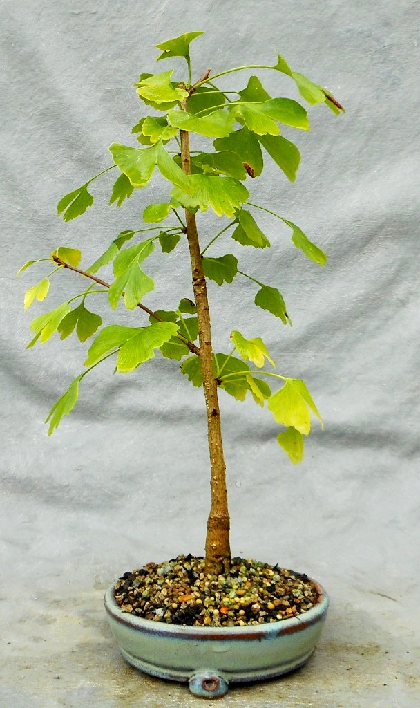 Maidenhair Tree - Ginkgo (Ginkgobonsai2)