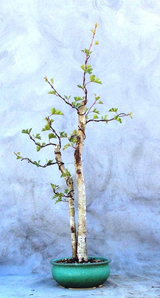 Hawthorn (Parsleyhawbonsai1)