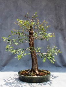 Green hawthorn bonsai