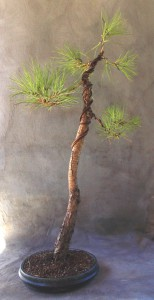 Loblolly pine bonsai
