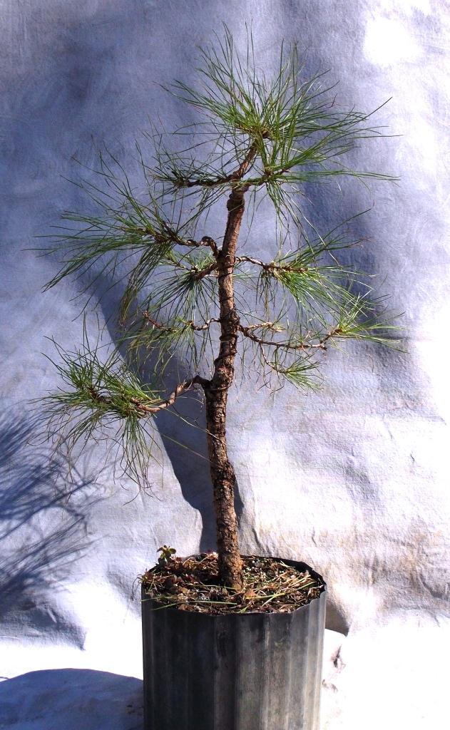 Pine pre-bonsai