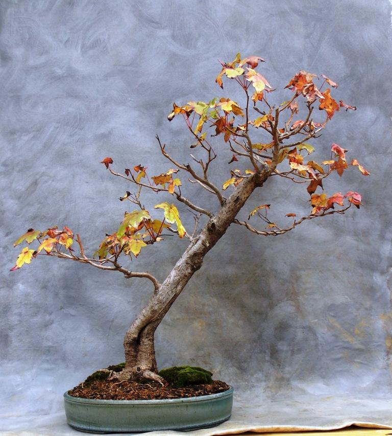 Sweetgum bonsai