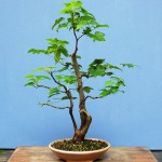 Sweetgum bonsai