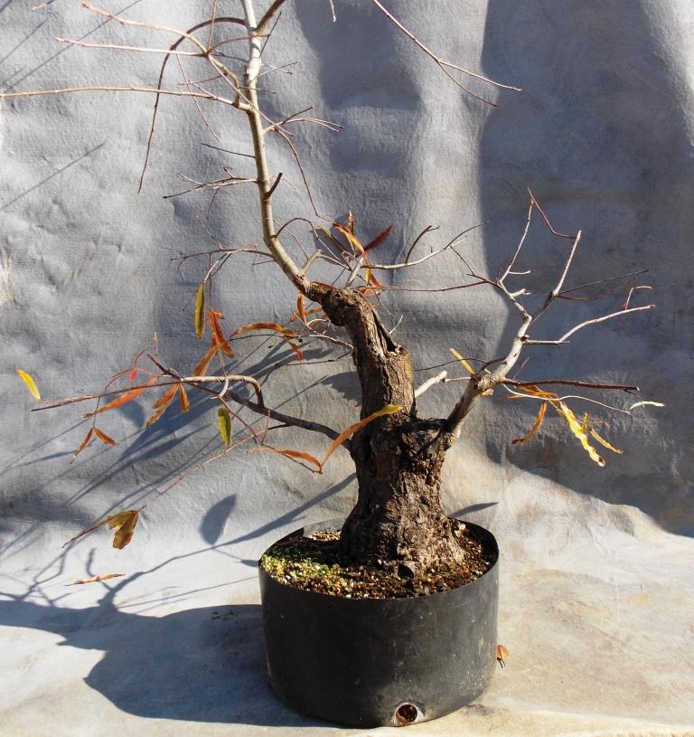 Willow-oak12-14-14-1