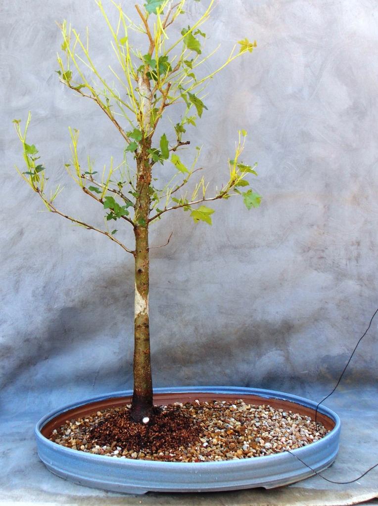 Sweetgumforest5-2-15-2