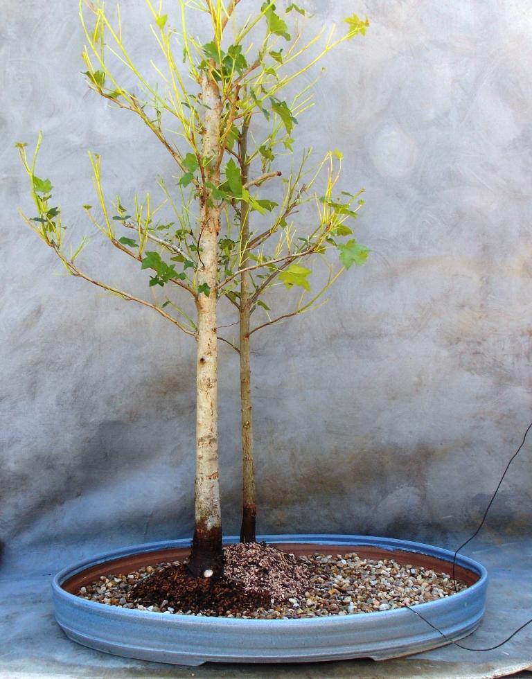 Sweetgumforest5-2-15-3