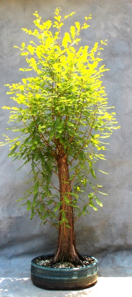 Cypress6-7-15-2
