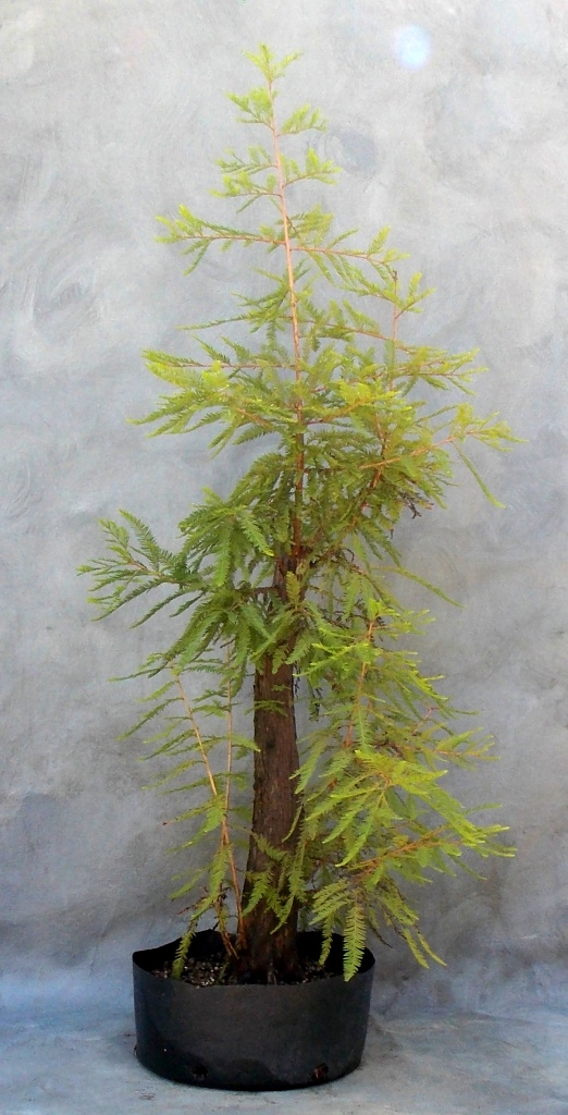Cypress8-29-15-1