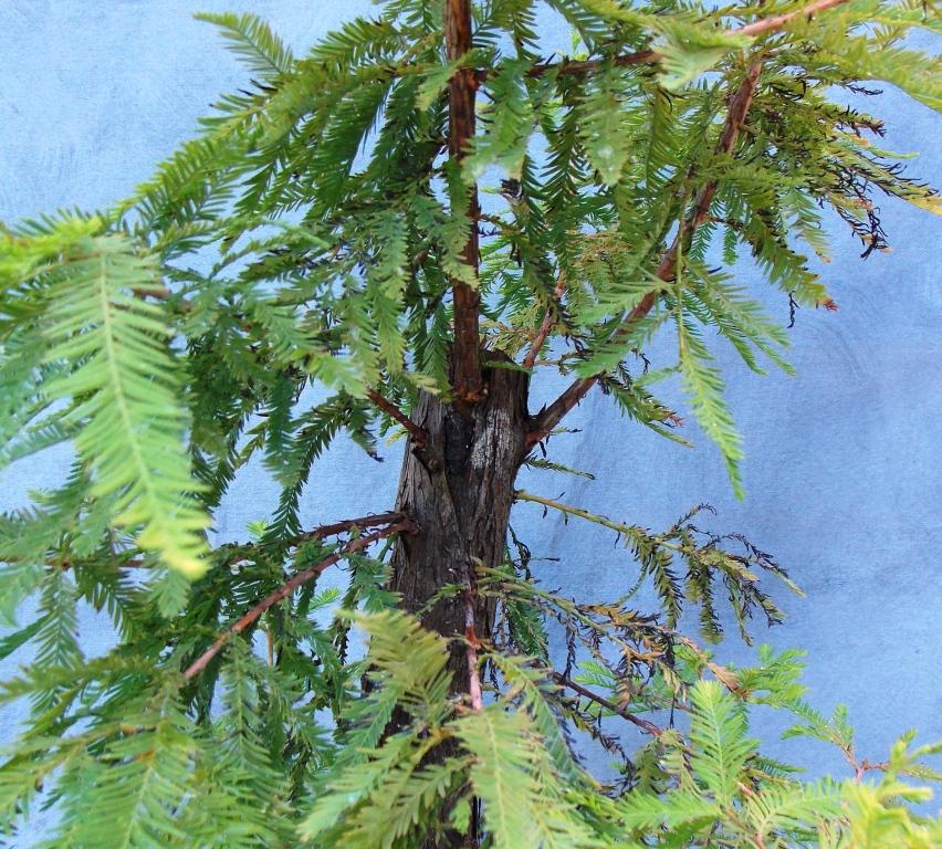 Cypress8-29-15-2