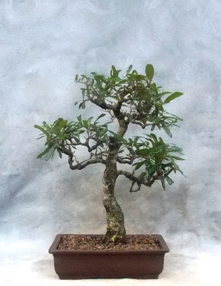 An Old Live Oak Bonsai Gets Some Care And A New Pot Bonsai South