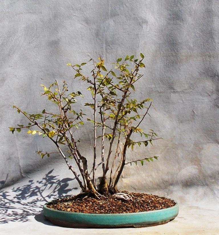Water-elm-clump10-3-15