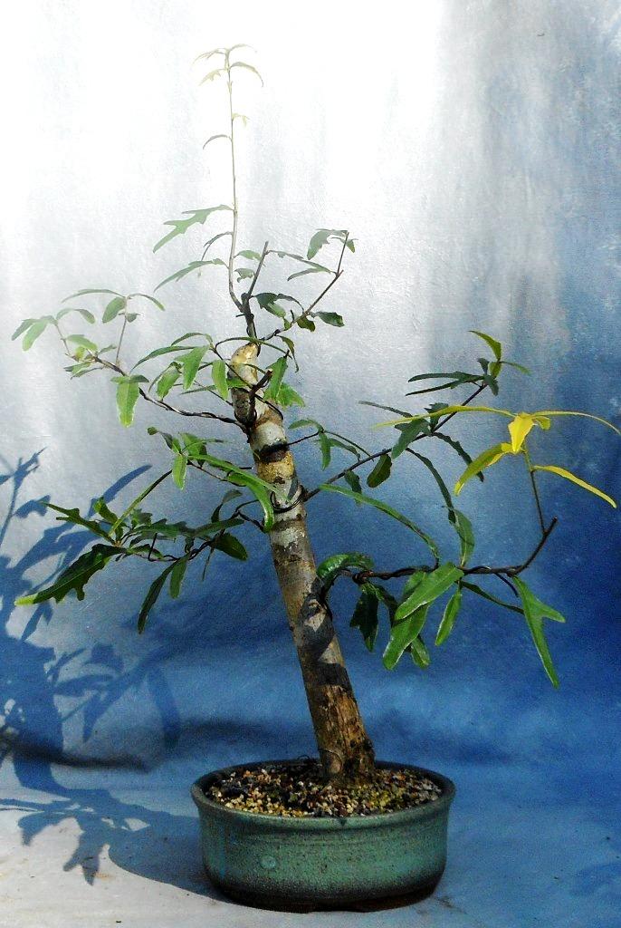 Water Oak (Waoakbonsai3)
