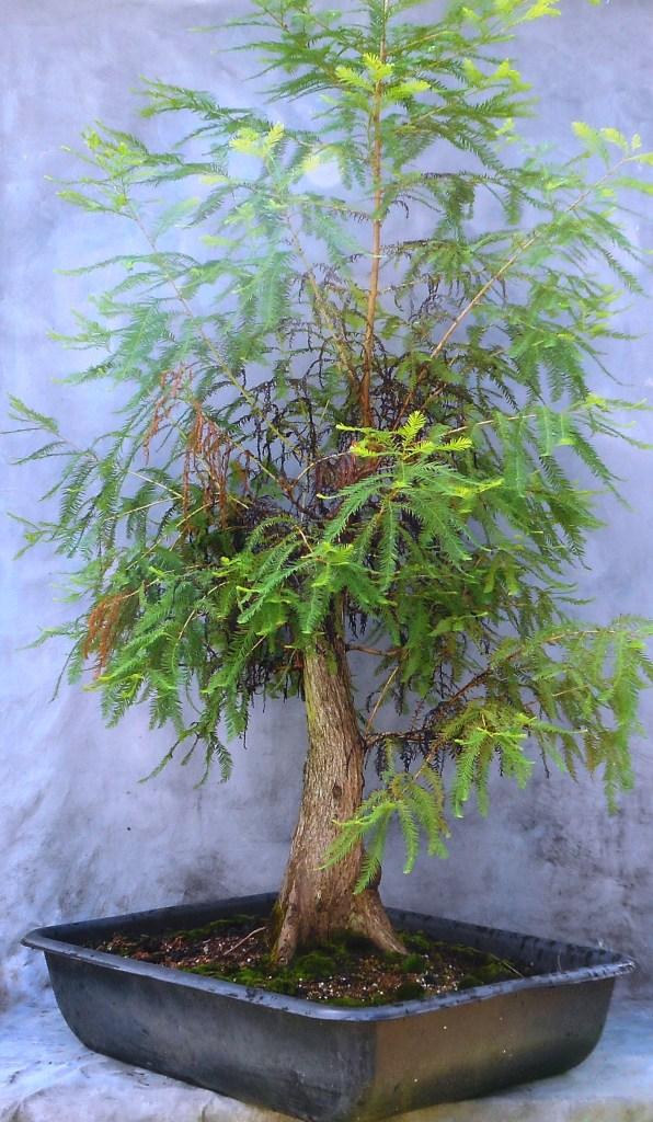 Cypress7-10-16-1