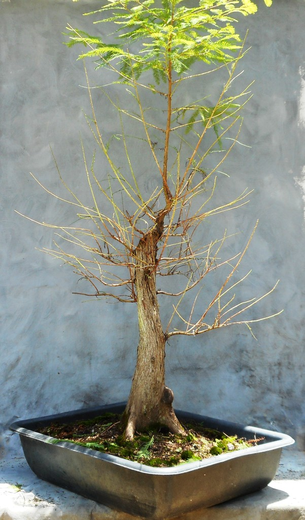 bald cypress defoliation wiring and potting bonsai south rh bonsai south com Wisteria Bonsai Bonsai Trees for Beginners