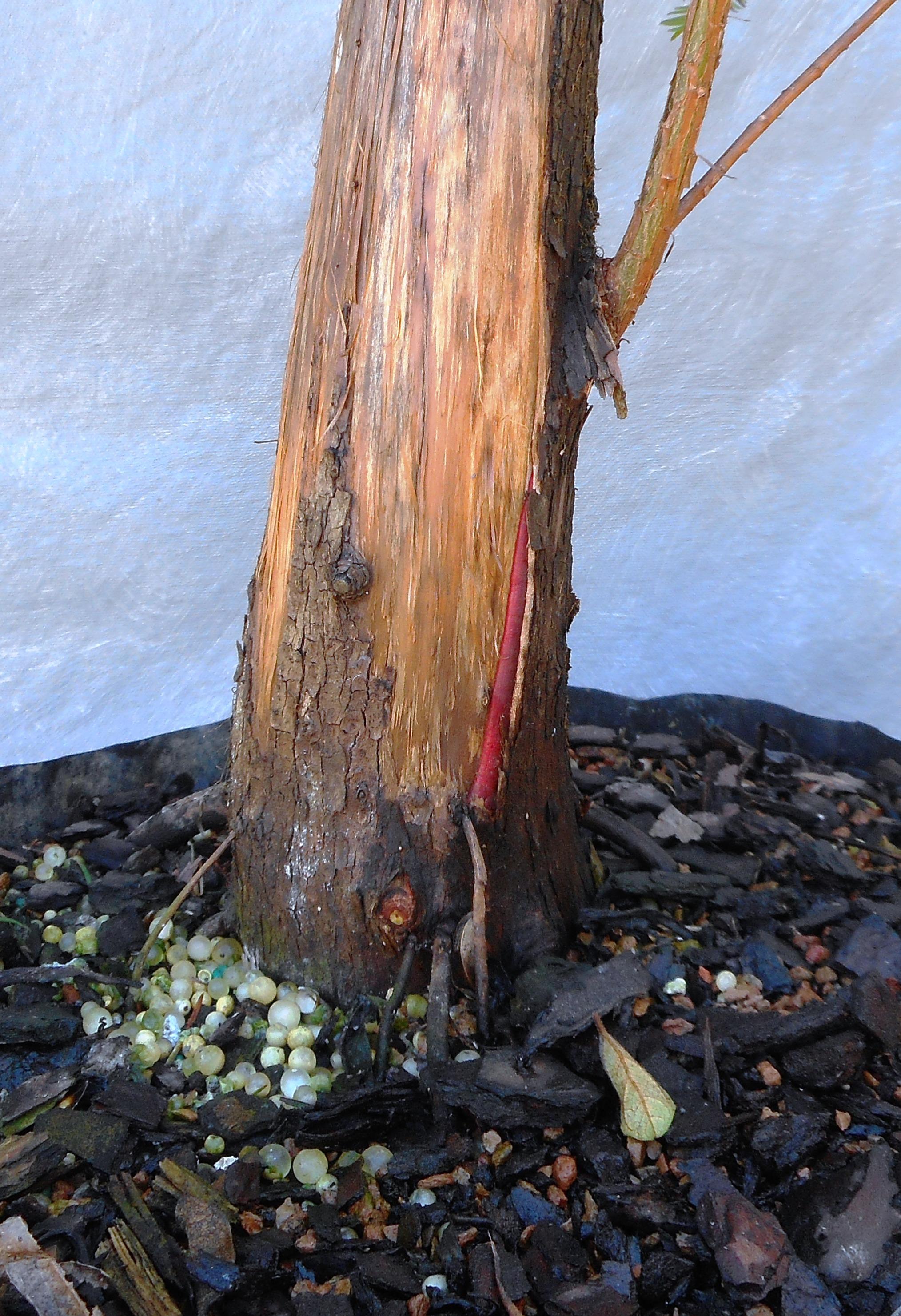 cypress10-29-16-3
