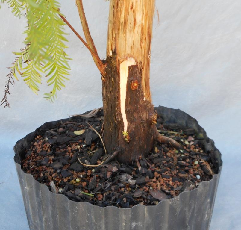 cypress10-29-16-4