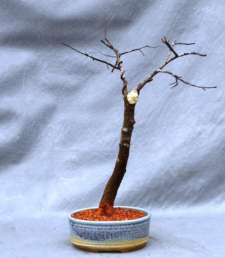 Hackberry (Hackberrybonsai2)