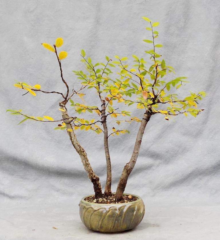 Cedar Elm (Cedarelmbonsai4)