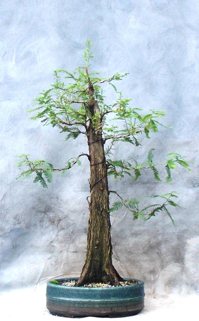 Bald Cypress (Cypressbonsai7)