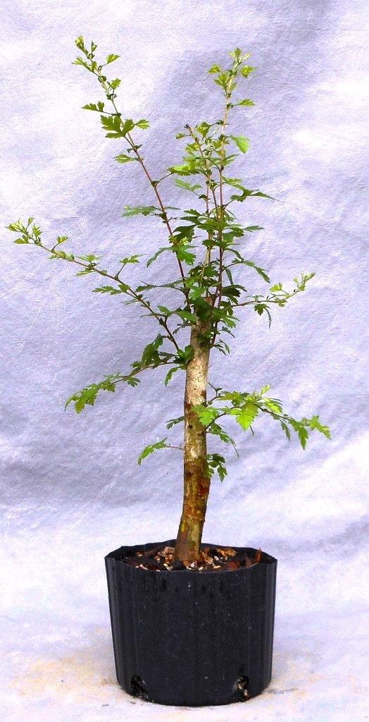 Hawthorn (Parsleyhaw3pre)