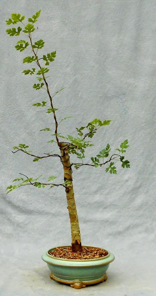 Hawthorn (Parsleyhawbonsai5)