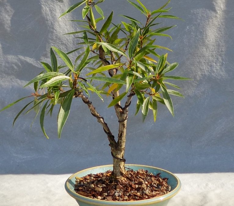Fascinating Facts About 10 Bonsai Species