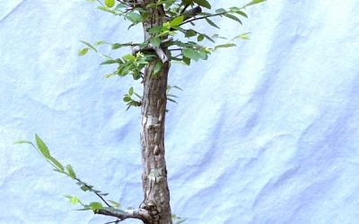 Another Cedar Elm Gets Styled