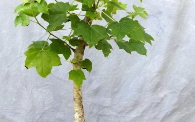 How About This Great Progress With A Sweetgum