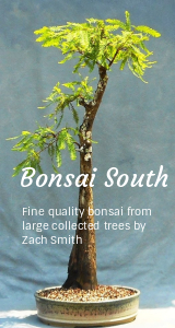 Bald Cypress Bonsai One Of The Best Yamadori In United States