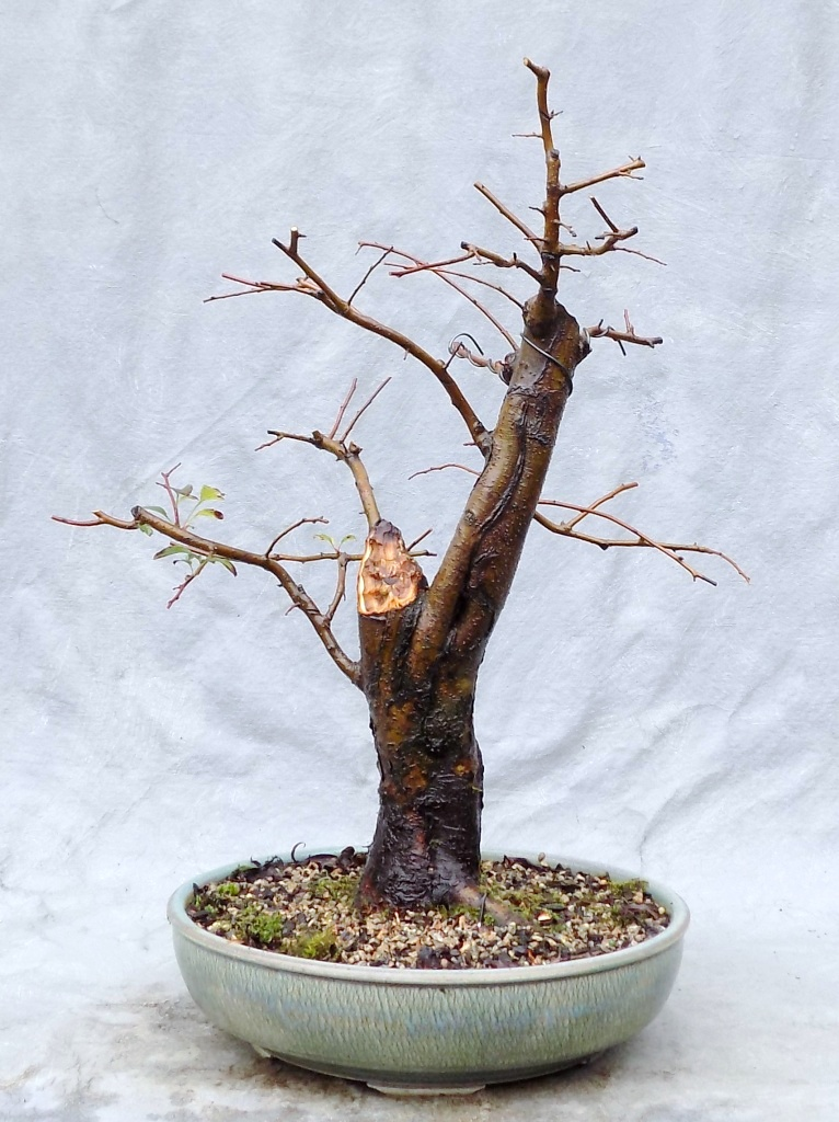 Progression Crabapple 1 Bonsai South