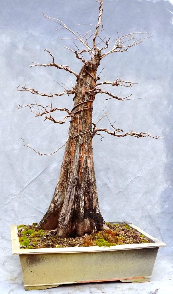 Large Collected Bald Cypress Bonsai Bonsai South Bonsai South