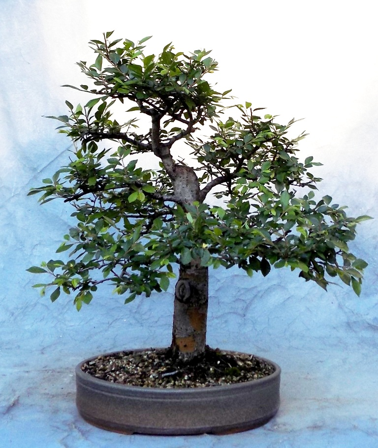 Stupendous Bonsai South Fine Quality Bonsai Trees Wiring Digital Resources Funapmognl