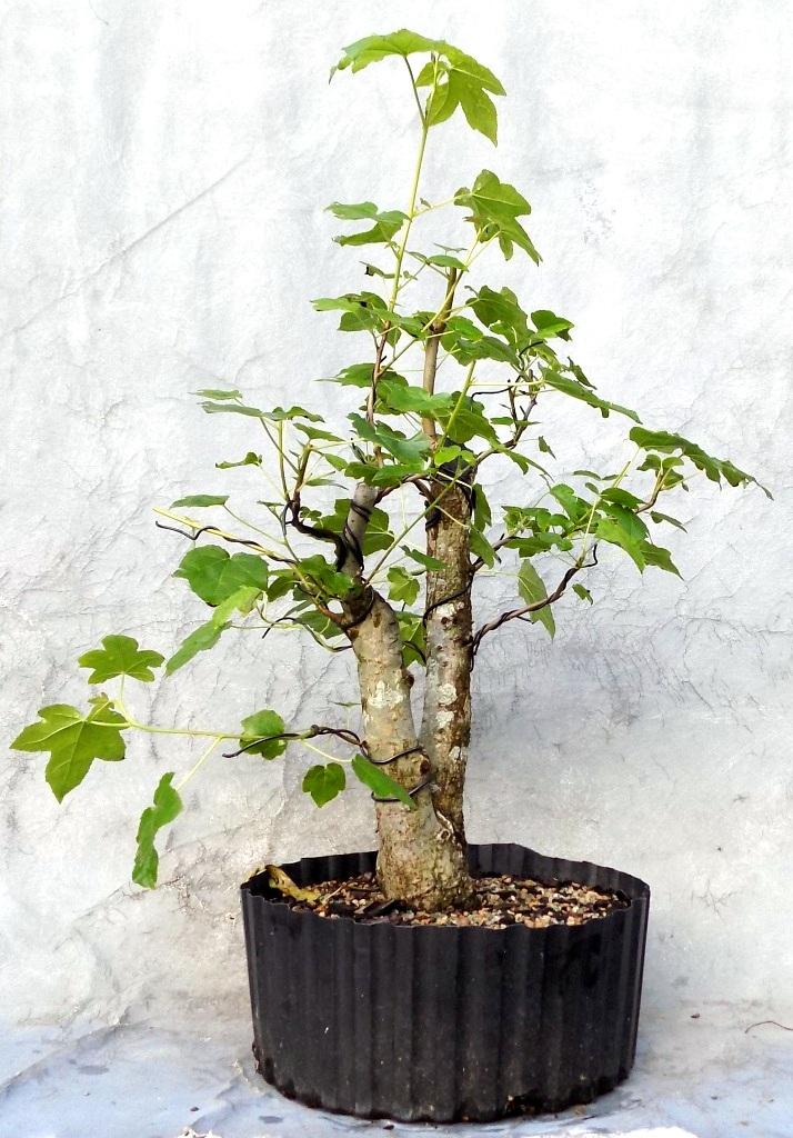 Sweetgum5-21-19-3