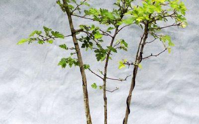 Bonsai Odds & Ends – Hawthorn, Water-Elm, Trumpet Vine
