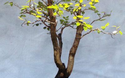 Bonsai Odds & Ends – BC, Sweetgum, Water-Elm
