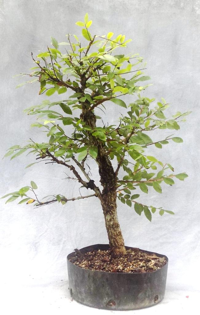 Cedar Elm (Cedarelm8pre)