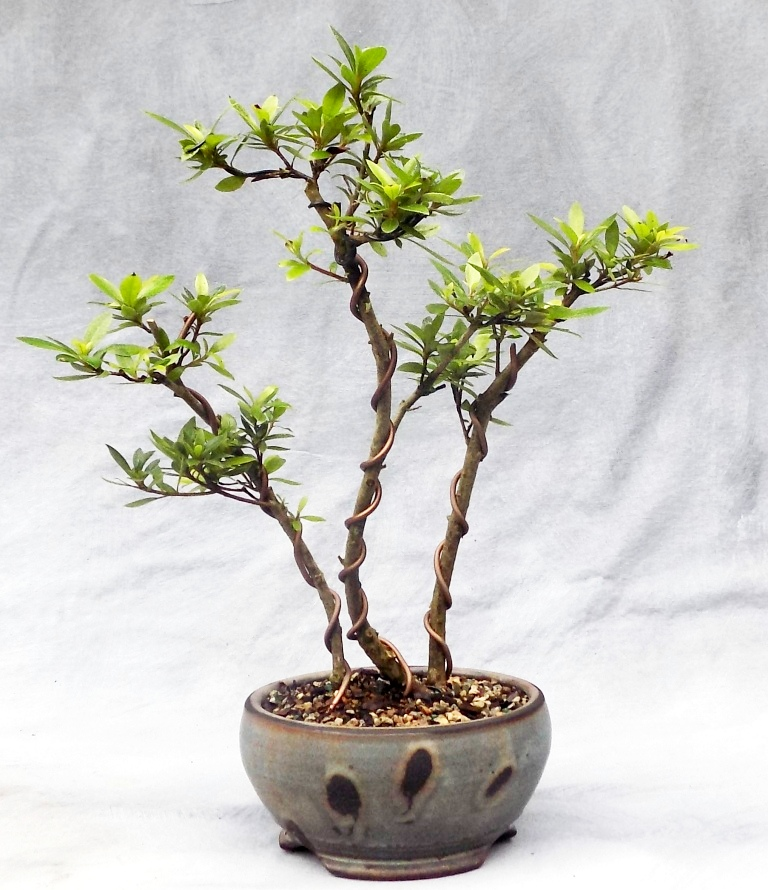 Chinzan azalea bonsai (1)