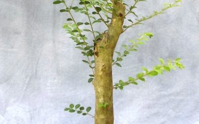 Bonsai Odds & Ends – Water Oak and Privet