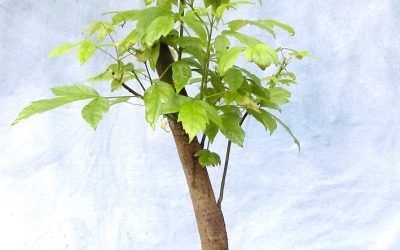 Bonsai Odds & Ends – Oak, Fig, Maple