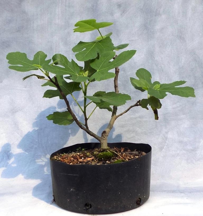Edible fig (C1pre)