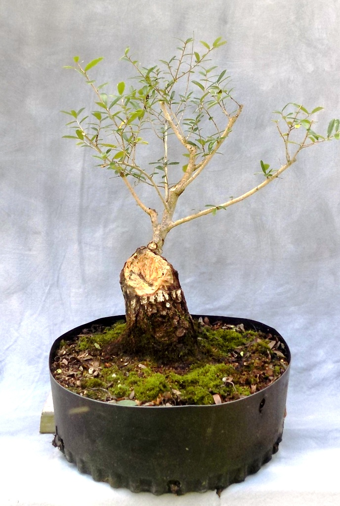 Oak Bonsai Pre Bonsai For Sale Bonsai South